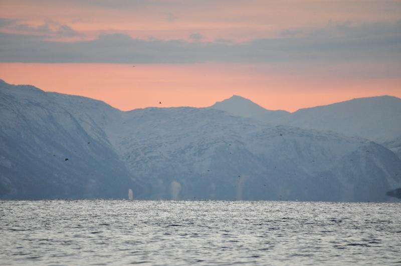 På hvalsafari med solopgangsfarver