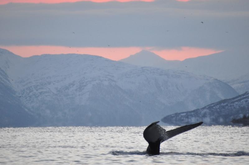 Pukkelhval i Tromsø