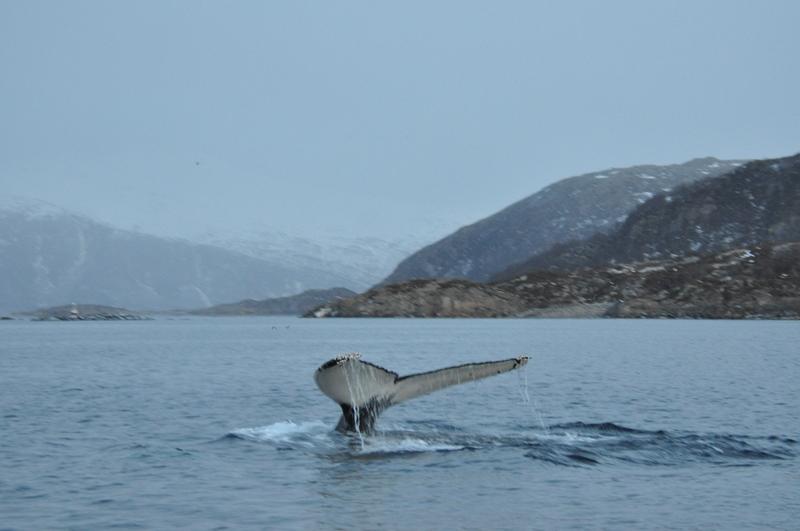 Pukkelhval på hvalsafari