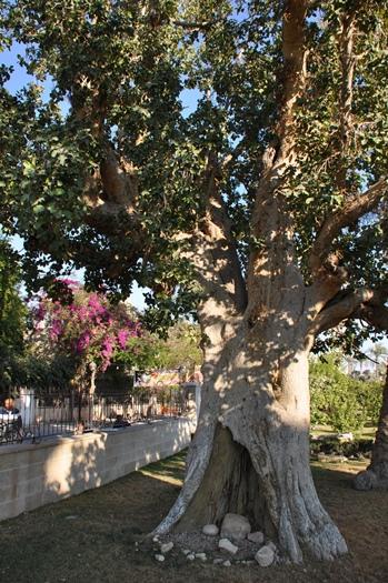 Det træ, som Sakæus kravlede op i i Jeriko