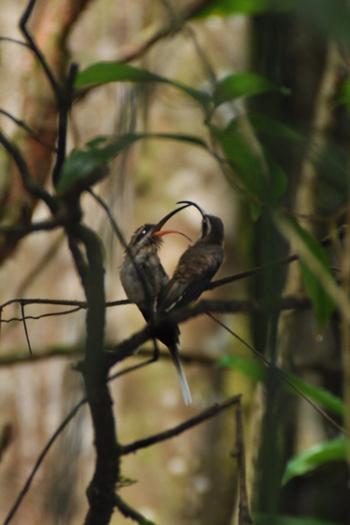 Kolibrier i Cockscomb Basin Jaguar Reserve