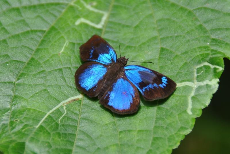 Blå sommerfugl i Cockscomb Basin Jaguar Reserve