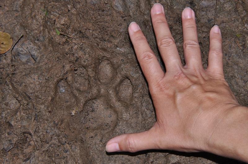 Friskt jaguarspor og Anne Maries hånd