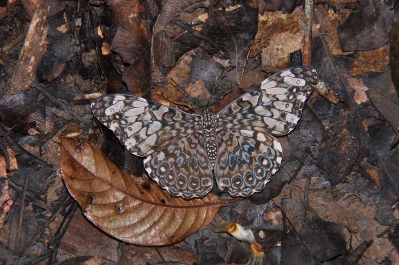 Sommerfugl i Cockscomb Basin Jaguar Reserve