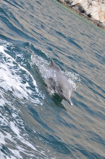 Indopacifisk pukkeldelfin