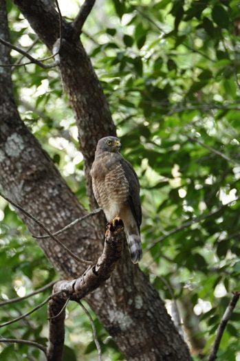 Rovfugl ved Calakmul i Mexico