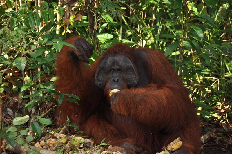Stor orangutan han
