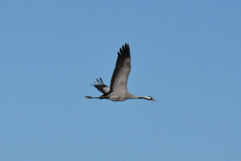 Flyvende trane ved Hornbogasjõn