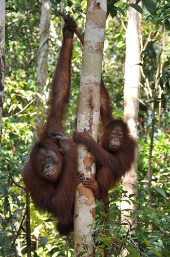 Orangutaner på besøg ved foderstation