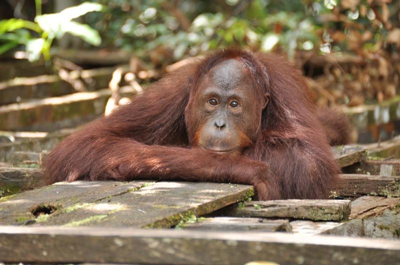 Orangutan venter på os
