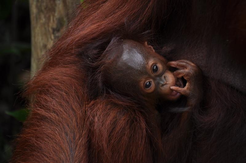 Orangutanunge