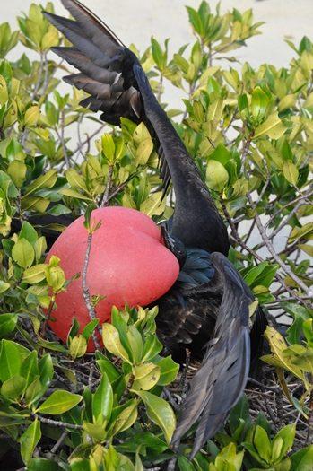 Frigatfugl med stor strubepose