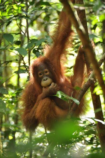 Den sødeste orangutan