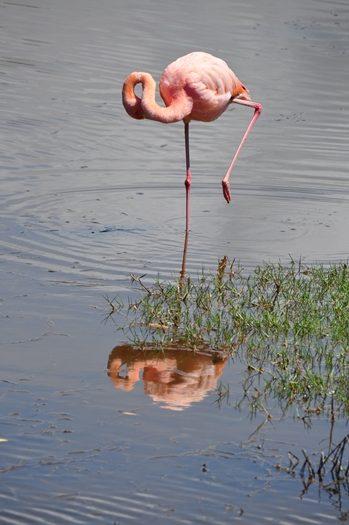 Flamingo med reflektion i vandet