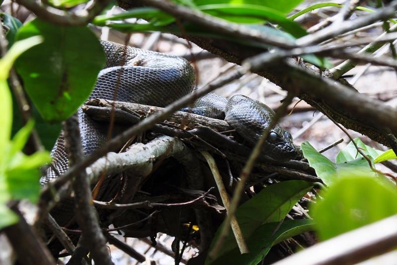 Anaconda slange i Amazonas i Ecuador