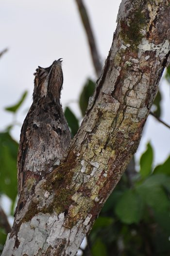 Potoo camuflere sig på træstamme