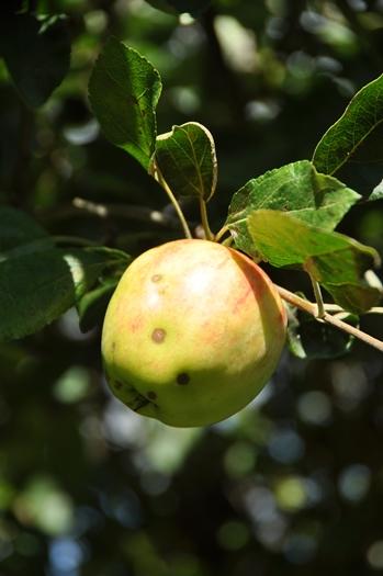 Æble fra Østrup Holme
