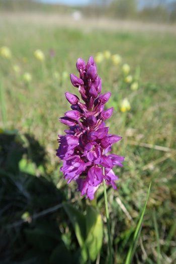Orkide på Øland