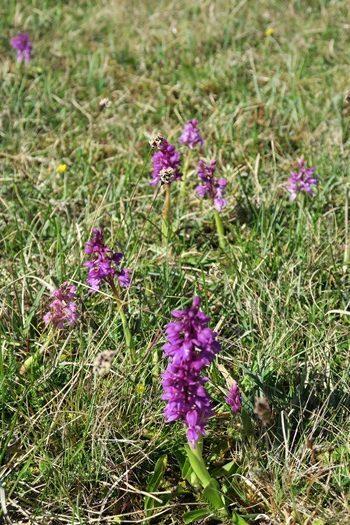 Flere orkideer