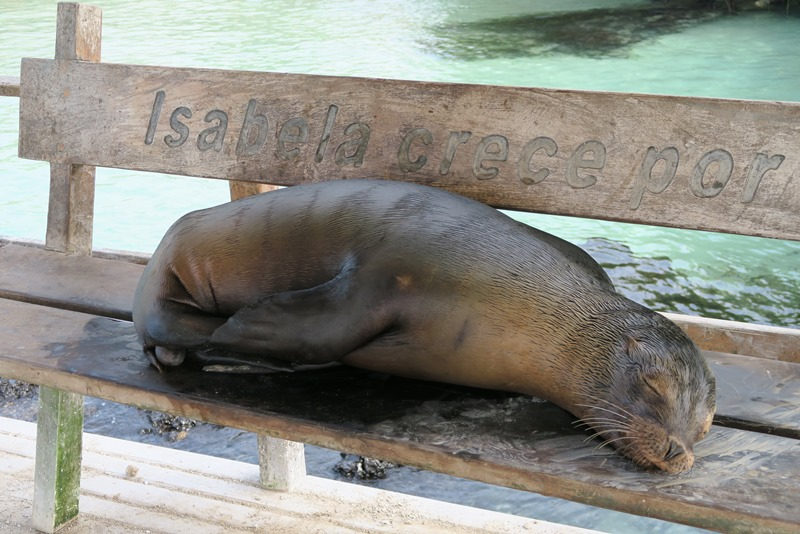 Søløve på bænk på Isabela