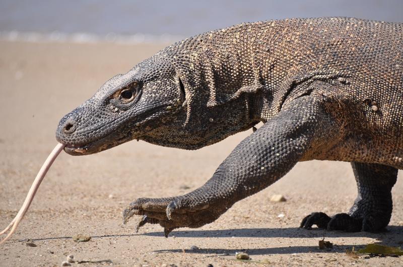 Komodovaran på Komodoøen