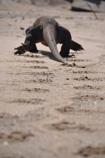 Komodovaran på Komodo island
