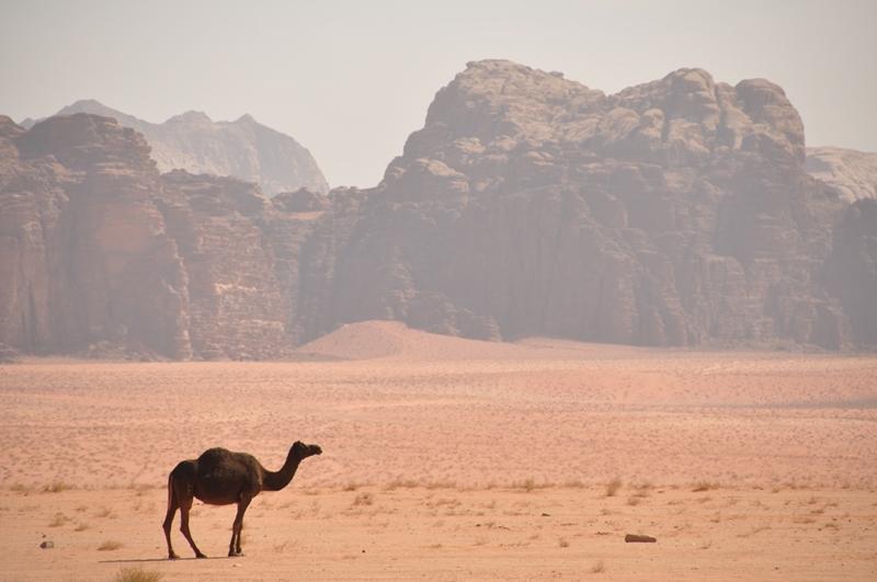Kamel i Wadi Rum ørkenen i Jordan