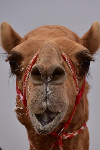 Vores fine kamel