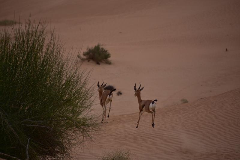 Gazeller i ørkenen