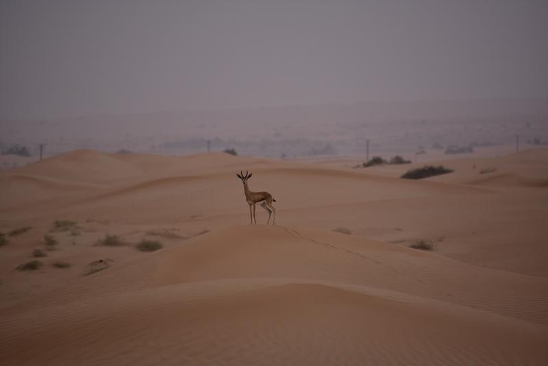 Gazelle der kigger