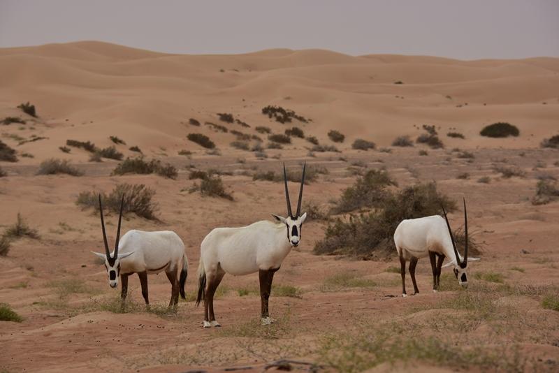 Oryx i ørkenen