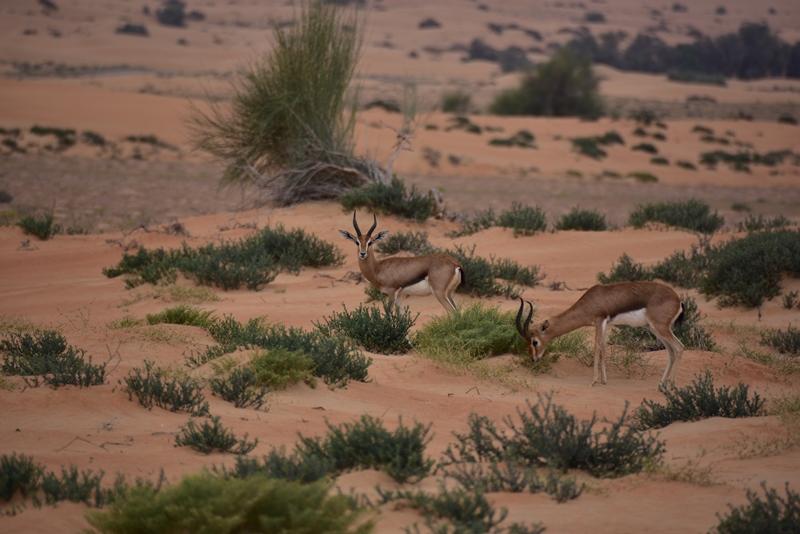 To gazeller i ørkenen
