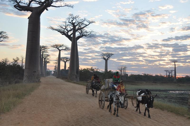 Baobaballen med oksekærrer