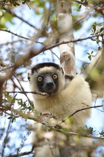 Verreaux sifaka i Kirindy Skovreservat i Madagaskar