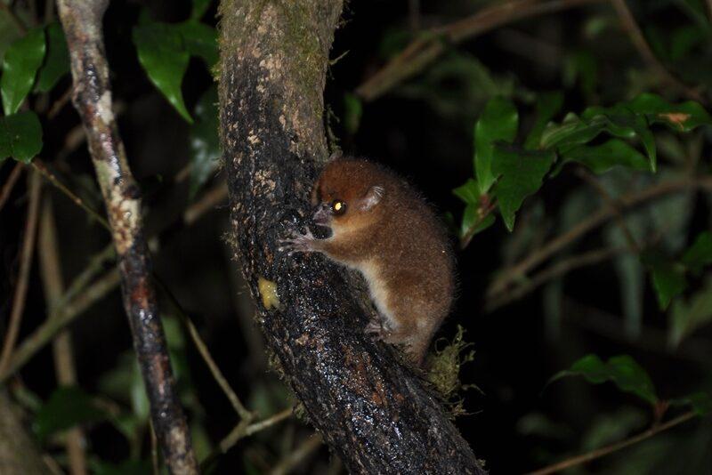 Muselemur i Ranomafana Nationalpark i Madagaskar