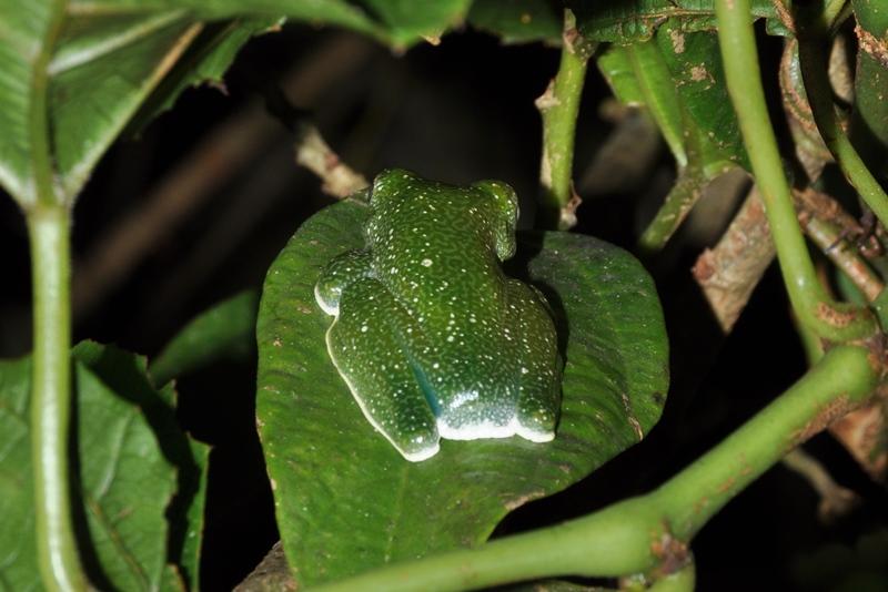 En flot grøn frø i Ranomafana Nationalpark i Madagaskar