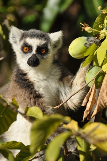 Kattalemur med frugt i nationalpark i Madagaskar