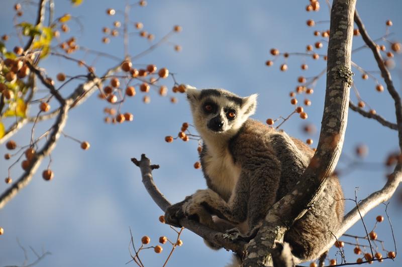 Kattalemur i Anja Park i Madagaskar
