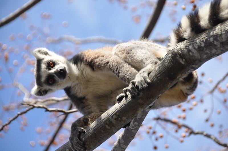 Kattalemur i Nationalpark i Madagaskar
