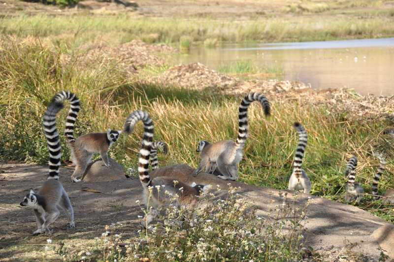 Mange kattalemurer i Madagaskar