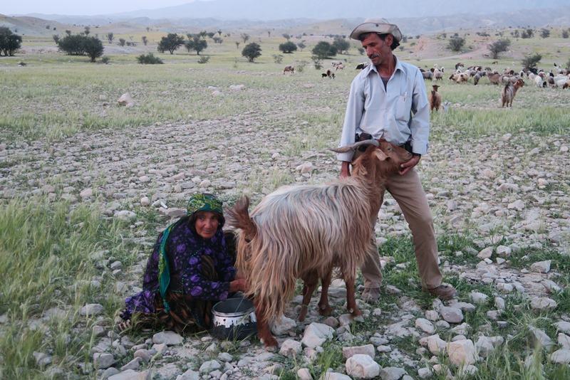 Bedstemor og bedstefar malker får