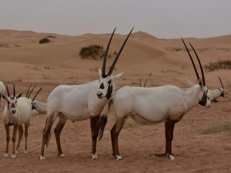 Flotte oryx i ørkenen