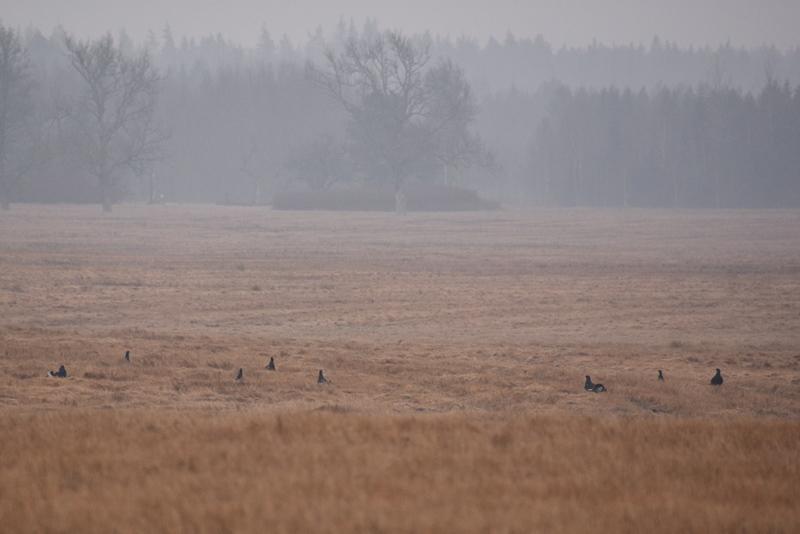 Første syn af urfugl i Sverige