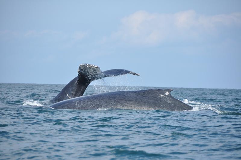 På tur for at se pukkelhvaler