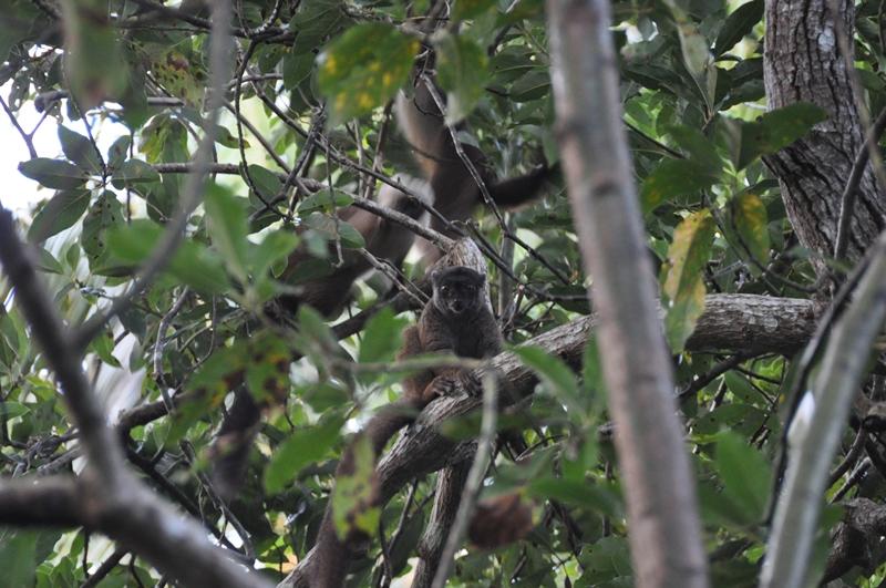 Lemur på Aye aye island i Madagaskar