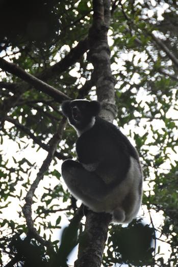 Indri synger