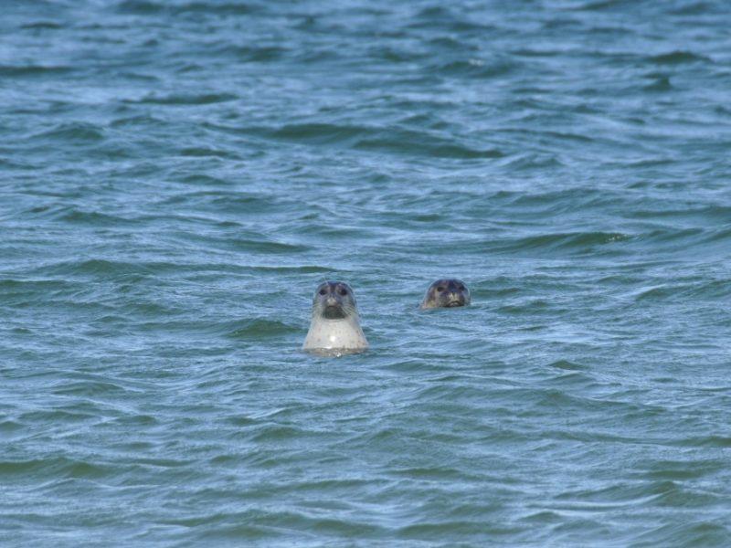 Sæler ved Mandø
