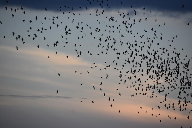 Svaler og papegøjer i Leticia