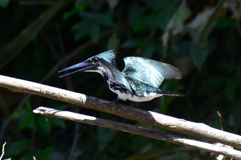 Isfugl i Amazonas, Colombia