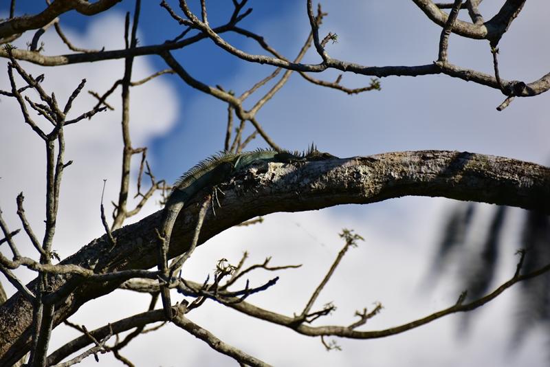 En doven leguan i et træ